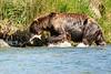 Brown_Bear_Catching_Fish_August_2020_Katmai_Alaska_0009