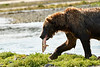 Brown_Bear_Catching_Fish_August_2020_Katmai_Alaska_0020