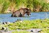 Brown_Bear_Catching_Fish_August_2020_Katmai_Alaska_0002