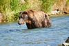 Brown_Bear_Fishing_August_2020_Katmai_Alaska_0004