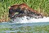 Brown_Bear_Fishing_August_2020_Katmai_Alaska_0014