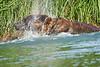 Brown_Bear_Fishing_August_2020_Katmai_Alaska_0019