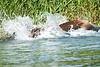 Brown_Bear_Fishing_August_2020_Katmai_Alaska_0018