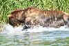 Brown_Bear_Fishing_August_2020_Katmai_Alaska_0016