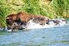 Brown_Bear_Fishing_August_2020_Katmai_Alaska_0005