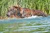 Brown_Bear_Fishing_August_2020_Katmai_Alaska_0020
