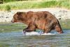 Brown_Bear_Fishing_August_2020_Katmai_Alaska_0003
