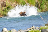 Brown_Bear_Fishing_August_2020_Katmai_Alaska_0009