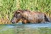 Brown_Bear_Fishing_August_2020_Katmai_Alaska_0007