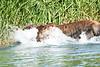 Brown_Bear_Fishing_August_2020_Katmai_Alaska_0017