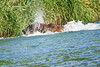 Brown_Bear_Fishing_August_2020_Katmai_Alaska_0006