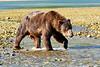 Brown_Bear_Fishing_August_2020_Katmai_Alaska_0002