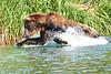 Brown_Bear_Fishing_August_2020_Katmai_Alaska_0011
