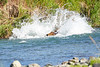 Brown_Bear_Fishing_August_2020_Katmai_Alaska_0010