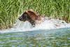 Brown_Bear_Fishing_August_2020_Katmai_Alaska_0013