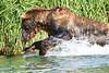 Brown_Bear_Fishing_August_2020_Katmai_Alaska_0015