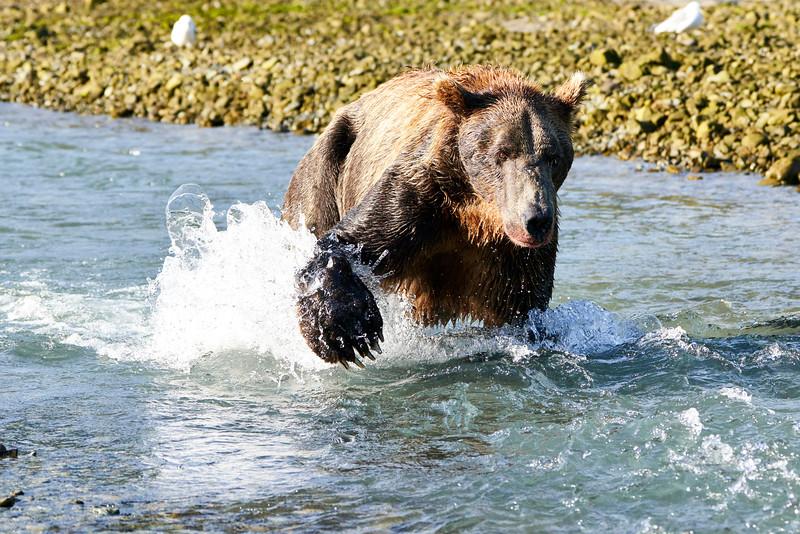 Brown_Bear_Fishing_August_2020_Katmai_Alaska_0001
