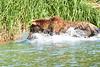 Brown_Bear_Fishing_August_2020_Katmai_Alaska_0012