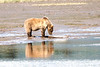 Mother_Brown_Bear_2nd_Year_Cubs_Hallo_Bay_August_2020_Katmai_Alaska_0003