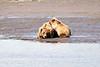 Mother_Brown_Bear_2nd_Year_Cubs_Hallo_Bay_August_2020_Katmai_Alaska_0011