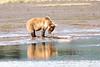 Mother_Brown_Bear_2nd_Year_Cubs_Hallo_Bay_August_2020_Katmai_Alaska_0005