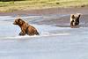 Mother_Brown_Bear_2nd_Year_Cubs_Hallo_Bay_August_2020_Katmai_Alaska_0020