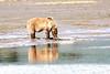 Mother_Brown_Bear_2nd_Year_Cubs_Hallo_Bay_August_2020_Katmai_Alaska_0004