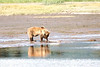 Mother_Brown_Bear_2nd_Year_Cubs_Hallo_Bay_August_2020_Katmai_Alaska_0002
