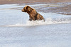 Mother_Brown_Bear_2nd_Year_Cubs_Hallo_Bay_August_2020_Katmai_Alaska_0019