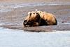 Mother_Brown_Bear_2nd_Year_Cubs_Hallo_Bay_August_2020_Katmai_Alaska_0013