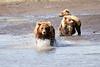 Mother_Brown_Bear_2nd_Year_Cubs_Hallo_Bay_August_2020_Katmai_Alaska_0015