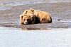 Mother_Brown_Bear_2nd_Year_Cubs_Hallo_Bay_August_2020_Katmai_Alaska_0012
