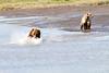 Mother_Brown_Bear_2nd_Year_Cubs_Hallo_Bay_August_2020_Katmai_Alaska_0017