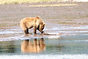 Mother_Brown_Bear_2nd_Year_Cubs_Hallo_Bay_August_2020_Katmai_Alaska_0007