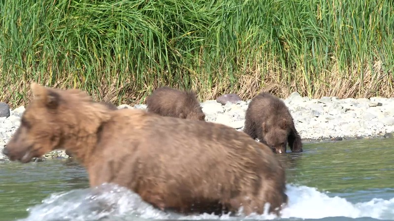 Katmai, Alaska, Brown Bears with Cubs, August 2020