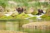Mother_Brown_Bear_2nd_Year_Cubs_August_2020_Katmai_Alaska_0004