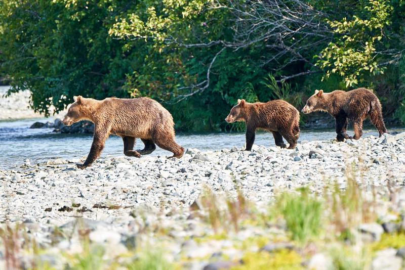 Mother_Brown_Bear_2nd_Year_Cubs_August_2020_Katmai_Alaska_0001
