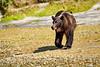 Mother_Brown_Bear_2nd_Year_Cubs_August_2020_Katmai_Alaska_0016