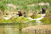 Mother_Brown_Bear_2nd_Year_Cubs_August_2020_Katmai_Alaska_0003