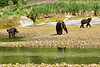 Mother_Brown_Bear_2nd_Year_Cubs_August_2020_Katmai_Alaska_0018