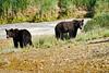 Mother_Brown_Bear_2nd_Year_Cubs_August_2020_Katmai_Alaska_0021