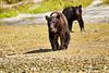Mother_Brown_Bear_2nd_Year_Cubs_August_2020_Katmai_Alaska_0017