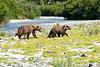 Mother_Brown_Bear_2nd_Year_Cubs_August_2020_Katmai_Alaska_0002