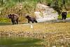 Mother_Brown_Bear_2nd_Year_Cubs_August_2020_Katmai_Alaska_0010