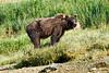 Mother_Brown_Bear_2nd_Year_Cubs_August_2020_Katmai_Alaska_0020