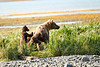 Mom_Triplett_Spring_Cubs_August_2020_Katmai_Alaska_0011