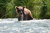 Mom_Twin_Spring_Cubs_Fishing_August_2020_Katmai_Alaska_0010
