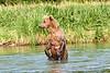 Mom_Twin_Spring_Cubs_Fishing_August_2020_Katmai_Alaska_0008