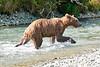 Mom_Twin_Spring_Cubs_Fishing_August_2020_Katmai_Alaska_0015