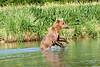 Mom_Twin_Spring_Cubs_Fishing_August_2020_Katmai_Alaska_0009